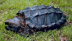 Alligator_snapping_turtle.jpg